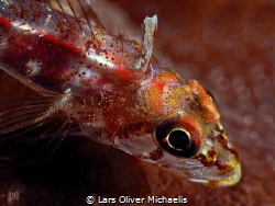 red goby by Lars Oliver Michaelis