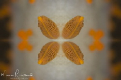 Clown Nudibranch Art by Mario Robillard