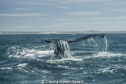 fluke... humpbacks at the westcoast of SA by Claudia Weber-Gebert