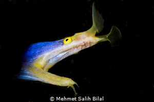 Blue ribbon eel. by Mehmet Salih Bilal