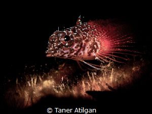 Snooted goby by Taner Atilgan