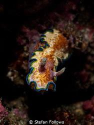 Lurker  Nudibranch - Glossodoris Cincta  Padagbai, Ba... by Stefan Follows