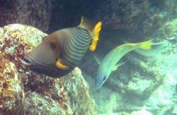 This is a gorgeous striped triggerfish with a Blue-stripe... by Shawn Holm