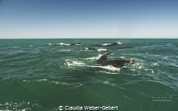 humpbacks feeding on the Benguela updwelling current by Claudia Weber-Gebert