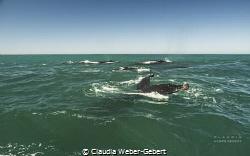 humpbacks feeding on the Benguela updwelling current by Claudia Weber-Gebert