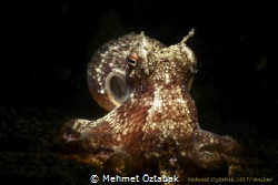 little octopus/ Anilao-Philippines by Mehmet Öztabak