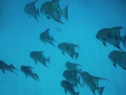 """""""Shadows Over The Sand"""" Spadefish sailing over the sand a... by Steven Anderson"""