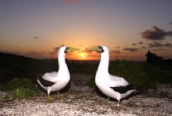 Masked Booby on sunset.