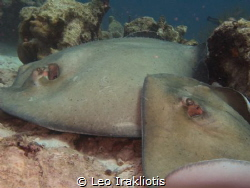 Rays matting at Bari Reef, Bonaire, July 2017. by Leo Irakliotis