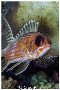 A close up of a Squirrelfish o Ambergris Caye, Belize. by Greg Hills