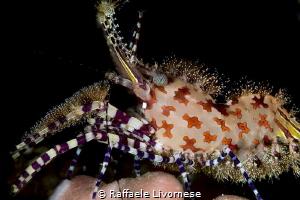 sharon shrimp sp. 1 by Raffaele Livornese