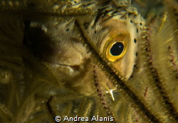 Porcupinefish during a night dive by Andrea Alanis