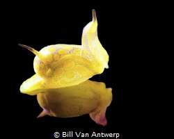 A beautiful little siphopteron (S. tigrinum) from a recen... by Bill Van Antwerp