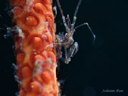 Skeleton Shrimp by Julian Hsu