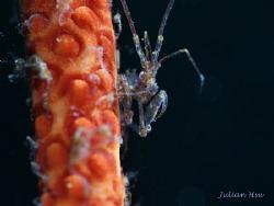 Skeleton Shrimp by Julian Hsu