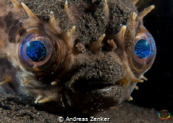 Cyclichthys orbicularis - Rounded porcupinefish by Andreas Zenker