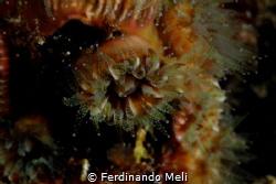 PHYLLANGIA MOUCHEZII Marettimo Island - 2017 by Ferdinando Meli