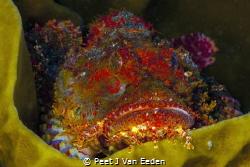 Popeyed scorpionfish with with it technicolor dreamcoat by Peet J Van Eeden