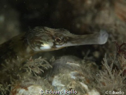Pipe fish with in his right a tiny (gestippelde mosdiersl... by Eduard Bello