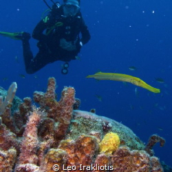 Frog fish, trumpet fish, and diver at Bonaire's Bari Reef... by Leo Irakliotis