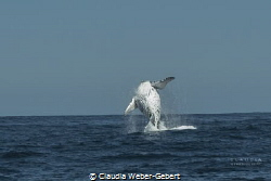 JUMP!!!  breeching humpback whale during the Benguela cu... by Claudia Weber-Gebert