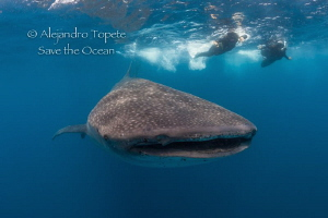 Whale Shark with Snorkelers, Isla Contoy México by Alejandro Topete