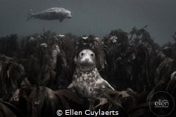Seal having a comfortable throne in Kelp around Farne Isl... by Ellen Cuylaerts
