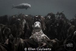 Seal having a comfortable throne in Kelp around Farne Isl... by Ellen Cuylaerts