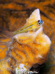 Peppermint goby (Coryphopterus lipernes) - Picture taken ... by Gary Carpenter