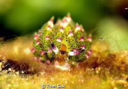 Nudibranch named Costasiella Kurosimae or called a Sheep ... by Roel Suk