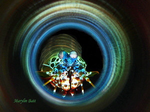 Mantis Shrimp through mirrored tube by Marylin Batt