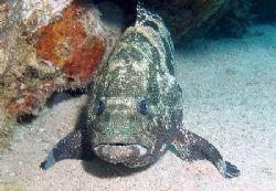 Malabar grouper standing on his fins - this species of gr... by Anel Van Veelen