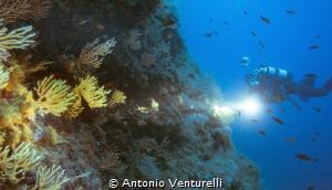yellow gorgonians by Antonio Venturelli
