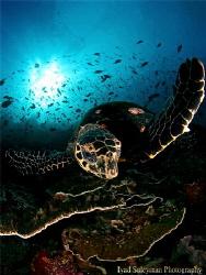 Turtle in Komodo style by Iyad Suleyman