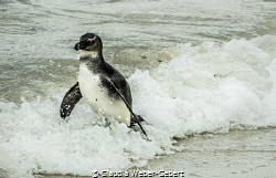 coming back - penguin at Boulders Beach in SA by Claudia Weber-Gebert