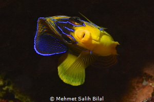 Quenn angelfish. by Mehmet Salih Bilal