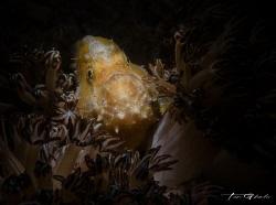 H I D E Juvenile Frogfish by Ton Ghela