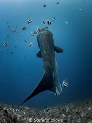 Wiggle wiggle  Southern Ocean Sunfish - Mola alexandrin... by Stefan Follows