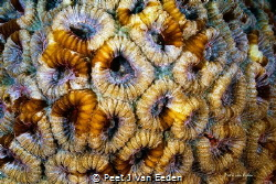 Building blocks of the ocean- False Honeycomb coral (Favi... by Peet J Van Eeden