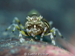The Bumble Bee Shrimp is always moving and hard to point ... by Catrin Pichler