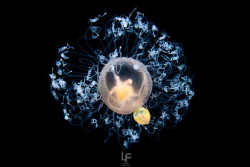Immortal jelly fish by Liang Fu