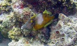 Whitespotted Filefish seen at Roatan Honduras. Photo take... by Bonnie Conley