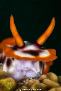 Chromodoris magnifica. by Mehmet Salih Bilal