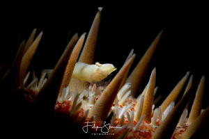 Pregnant shrimp, La Paz, Mexico. by Filip Staes