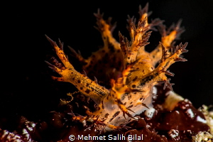 Bornella nudibranch. Anilao. by Mehmet Salih Bilal