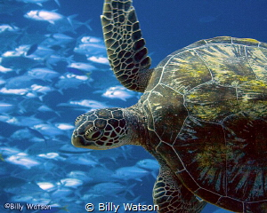'The Escape' — Grey Reef Shark was pursuing this turtle u... by Billy Watson