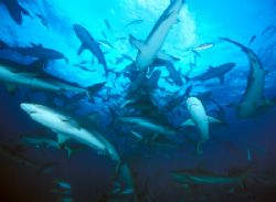 """Reef Sharks around the """"Chum-sicle"""", Walker's Cay, Bahama... by Andrew Dawson"""