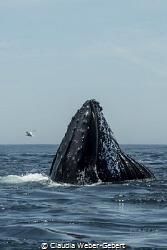 feeding........ humpback feeding on krill in the current by Claudia Weber-Gebert