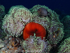 Magnificient anemone, Anemone Garden, outside El Quseir by Olivier Notz