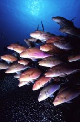 This school of Gold saddled goatfish were hunting a group... by Richard Smith